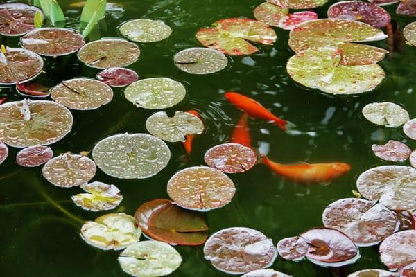 Scottsdale Fish Pond Contractor